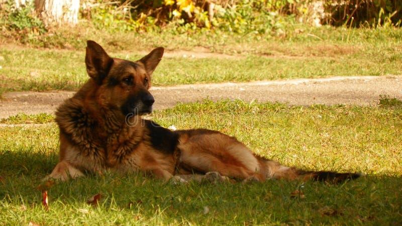 German shepherd. In Bran Village stock photography
