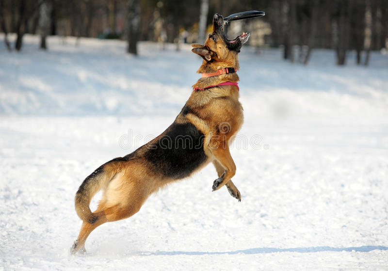 Download German Shepherd Catching Disk Stock Photo - Image of berger, cold: 23841764