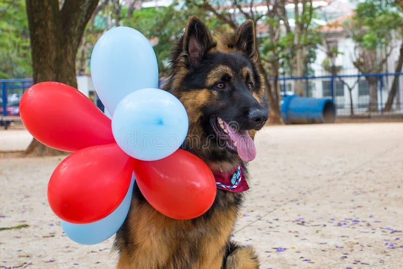 A German Shepherd celebrating his first birthday.  stock photography