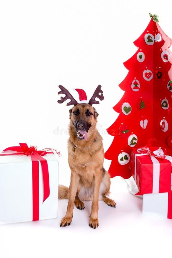 German shepherd with christmas hat royalty free stock image