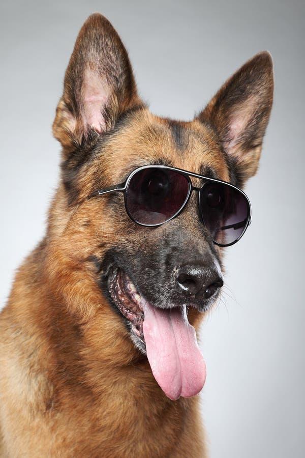 German shepherd in dark sunglasses. Funny portrait. German shepherd in dark sunglasses on grey background (funny series royalty free stock images