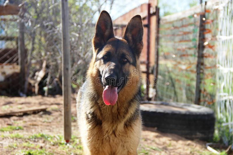 The German Shepherd. (German: Deutscher Schäferhun is a breed of large-sized working dog that originated in Germany. The breed's officially recognized name stock image