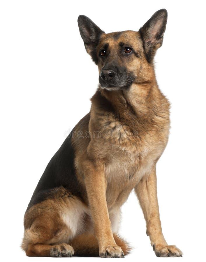 German Shepherd Dog, 10 years old, sitting stock photography