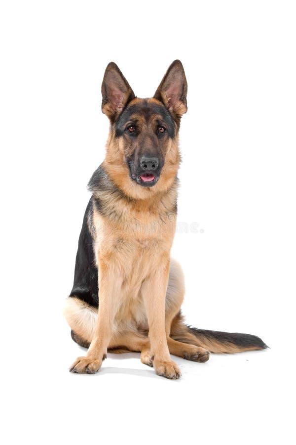 German Shepherd dog. A German Shepherd dog portrait royalty free stock photos