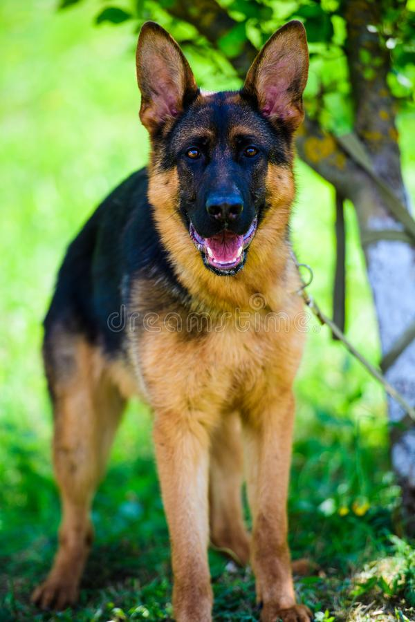 German Shepherd dog. Adorable, aggression, aggressive, anger, angry, animal, attack, bark, barking, beautiful, breed, brown, canine, cute, danger, dangerous royalty free stock image