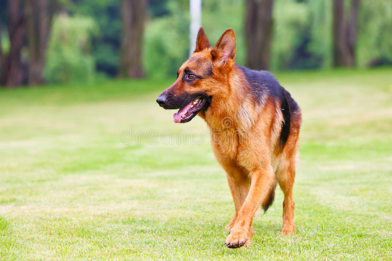 German shepherd dog 2. A German shepherd dog is walking on the grassland stock photos