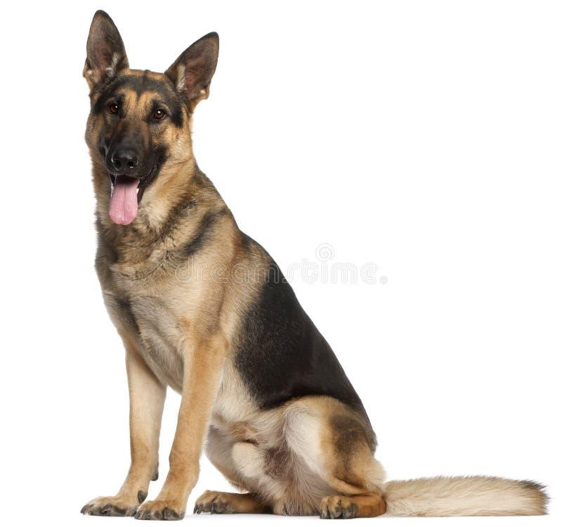 Free German Shepherd Dog, 2 And A Half Years Old Stock Photo - 20376680