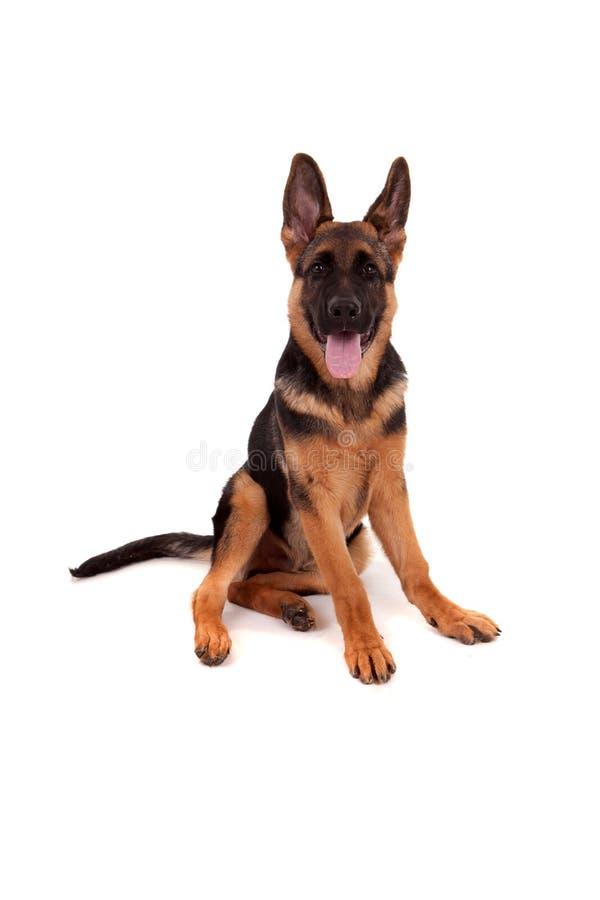 German Shepherd dog. Isolated over white royalty free stock photography