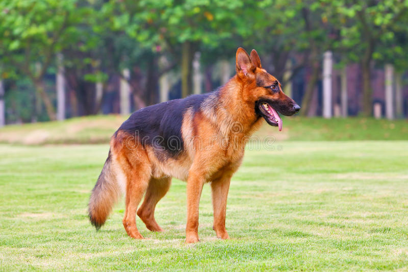 Download German shepherd dog 3 stock image. Image of green, tongue - 24824035