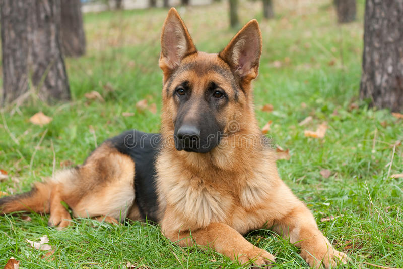 Download German Shepherd dog stock image. Image of faithful, protection - 38203989