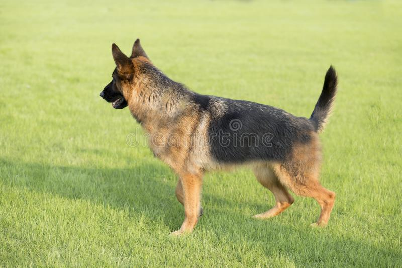 German Shepherd Dog. Also known as: German wolf dog, De Mu, is a breed of dogs, originated in Germany, the specific origin of blood is unknown. s are gentle royalty free stock image