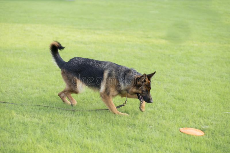 German Shepherd Dog. Also known as: German wolf dog, De Mu, is a breed of dogs, originated in Germany, the specific origin of blood is unknown. s are gentle stock photos