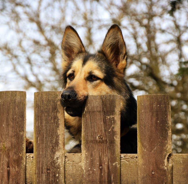 German Shepherd Dog Behind the Fence stock image