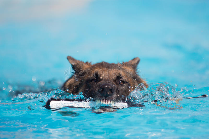 German Shepherd Dog Biting Toy in the Water royalty free stock images