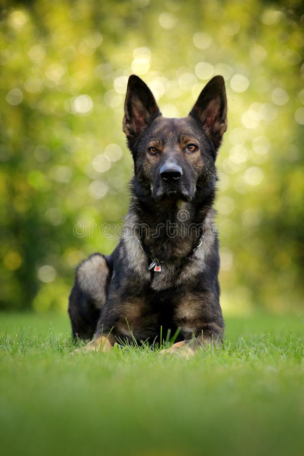 German Shepherd Dog, is a breed of large-sized working dog that originated in Germany, sitting in the green grass with nature in. Background royalty free stock photo