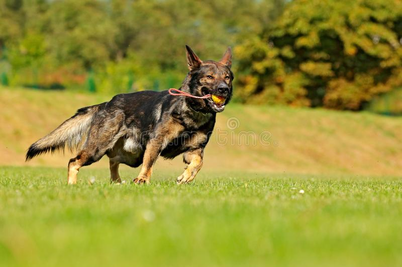 German Shepherd Dog, is a breed of large-sized working dog that originated in Germany, sitting in the green grass with nature in. Background royalty free stock photography