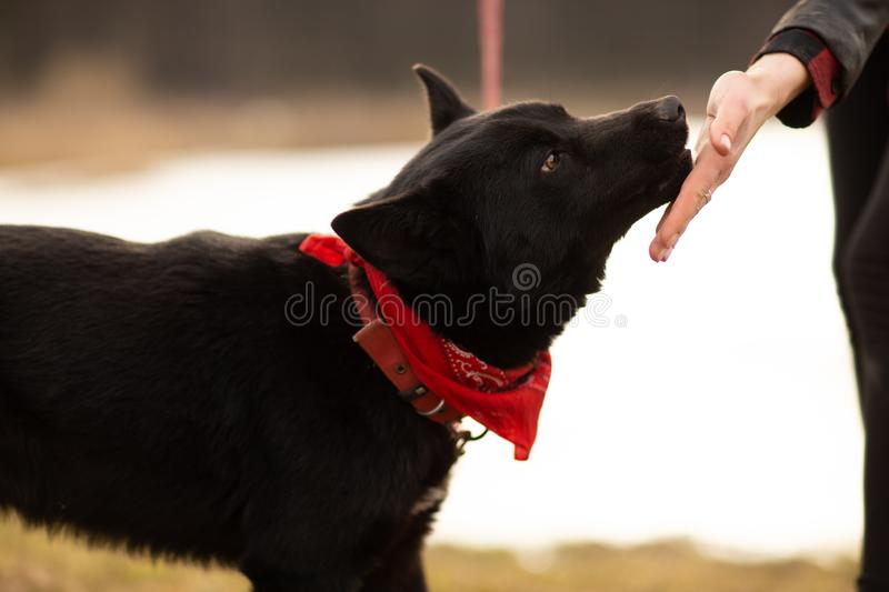 German Shepherd dog Brovko Vivchar walking by village lake with his master.  stock images