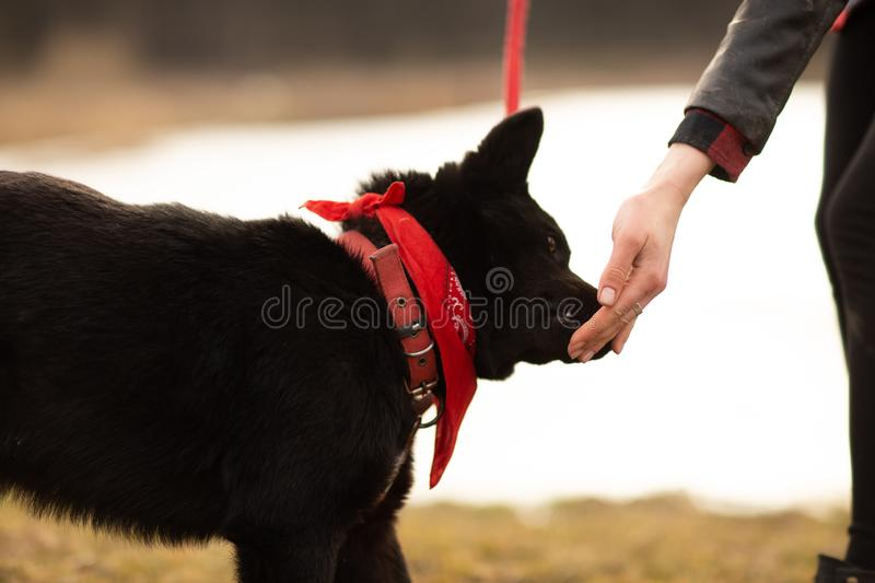 German Shepherd dog Brovko Vivchar walking by village lake with his master.  royalty free stock images