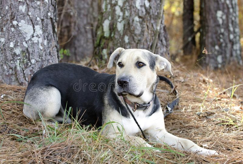 German Shepherd Dog and Chinese Shar Pei mixed breed dog. Black and tan female mixed breed dog, German Shepherd Dog and Chinese Shar-pei on leash laying down royalty free stock photo