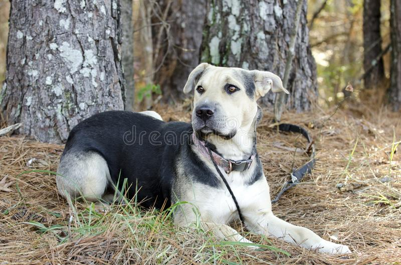 German Shepherd Dog and Chinese Shar Pei mixed breed dog. Black and tan female mixed breed dog, German Shepherd Dog and Chinese Shar-pei on leash laying down stock photo