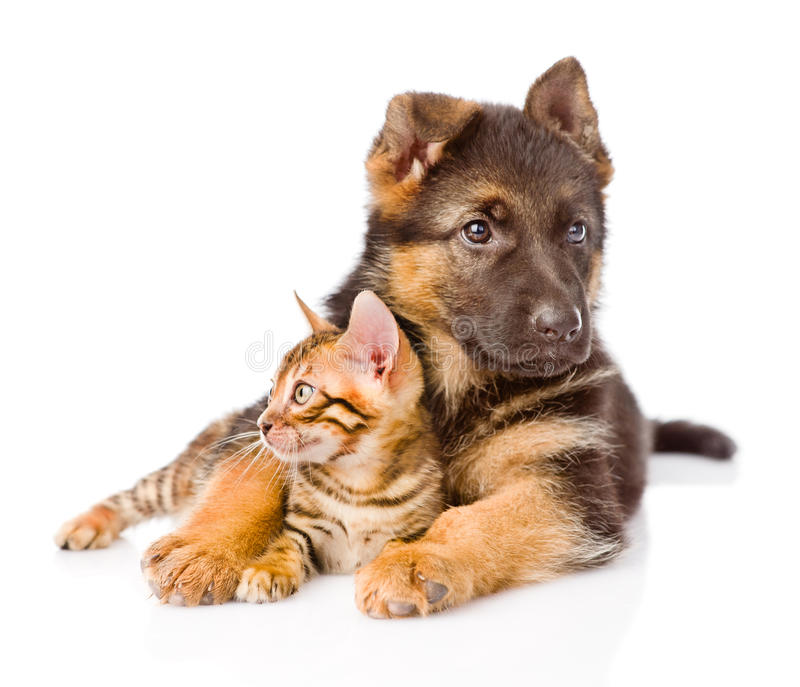 German shepherd dog embracing little bengal cat. isolated on white.  royalty free stock images