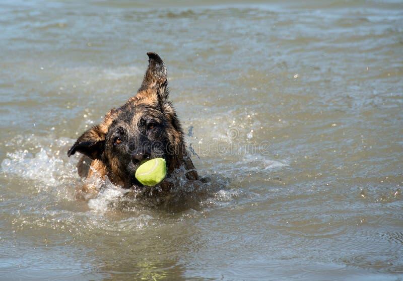 German Shepherd Dog with funny face and ball having fun at dog swim at Howarth Park, Santa Rosa California. Swimming stock images