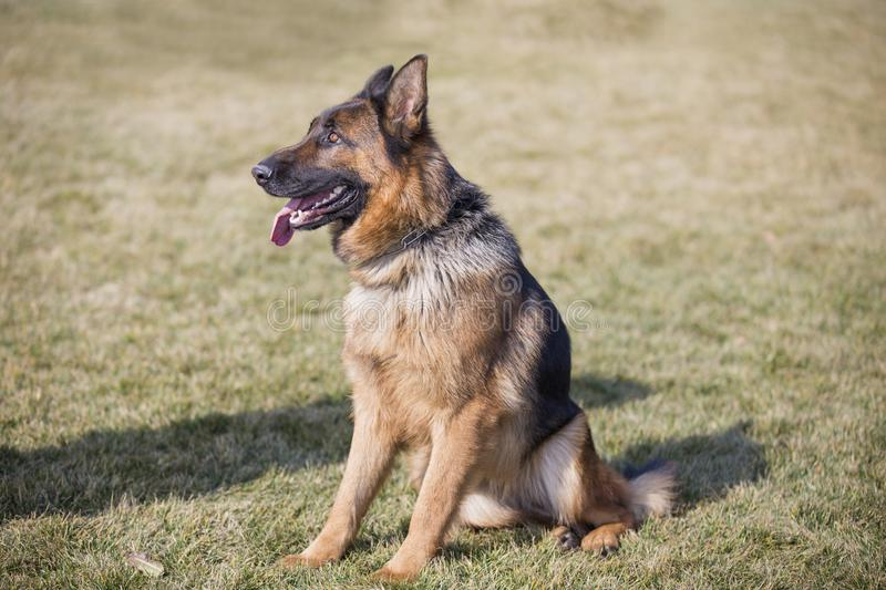 German Shepherd Dog. [1] German shepherd dog [11] is gentle, obedient, sensitive and alert, and is widely used in military and police, such as drug control royalty free stock photography