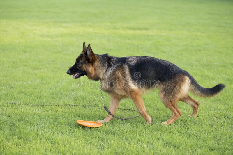 German Shepherd Dog. Also known as: German wolf dog, De Mu, is a breed of dogs, originated in Germany, the specific origin of blood is unknown. s are gentle stock photography