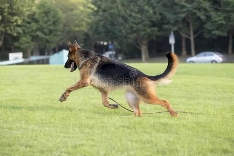 German Shepherd Dog. Also known as: German wolf dog, De Mu, is a breed of dogs, originated in Germany, the specific origin of blood is unknown. s are gentle stock photo