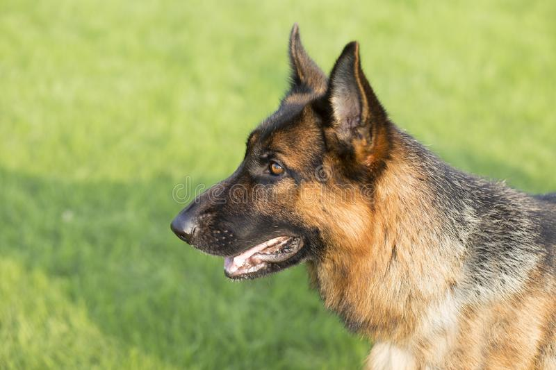 German Shepherd Dog. Also known as: German wolf dog, De Mu, is a breed of dogs, originated in Germany, the specific origin of blood is unknown. s are gentle royalty free stock photography