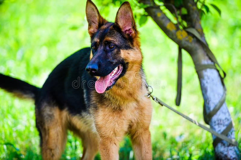german shepherd dog on green grass royalty free stock photography