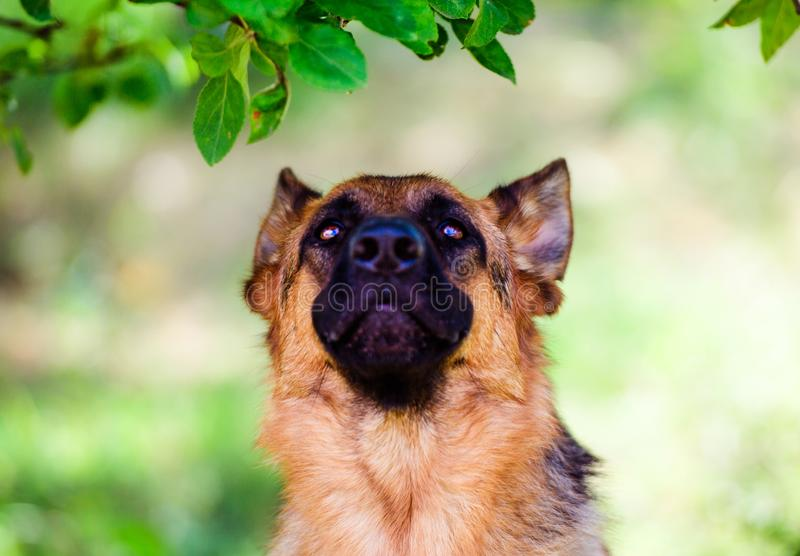 German shepherd dog on green grass. Adorable, aggression, aggressive, anger, angry, animal, attack, bark, barking, beautiful, breed, brown, canine, cute stock photo