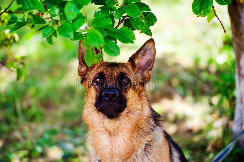 German shepherd dog on green grass. Adorable, aggression, aggressive, anger, angry, animal, attack, bark, barking, beautiful, breed, brown, canine, cute stock image