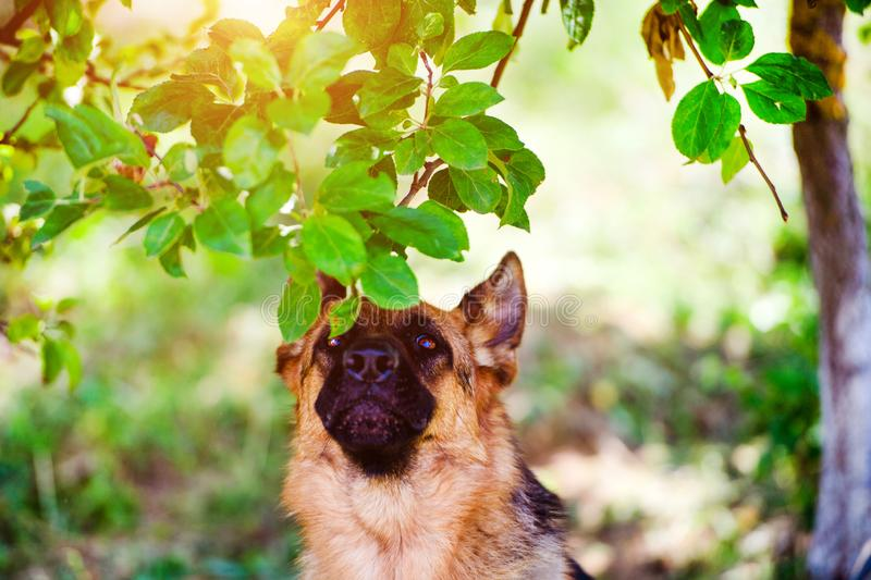 German shepherd dog on green grass. Adorable, aggression, aggressive, anger, angry, animal, attack, bark, barking, beautiful, breed, brown, canine, cute stock photography