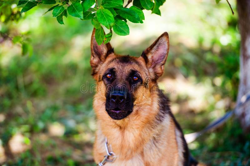 German shepherd dog on green grass. Adorable, aggression, aggressive, anger, angry, animal, attack, bark, barking, beautiful, breed, brown, canine, cute stock photos