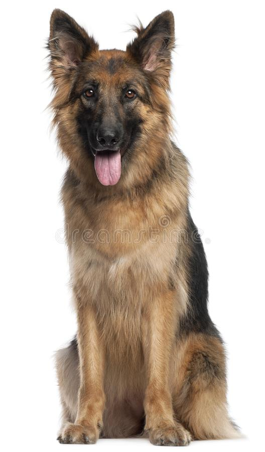 German Shepherd Dog, 2 and a half years old, sitting in front of stock photos