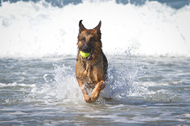 German Shepherd Dog i Ocean royalty free stock photography