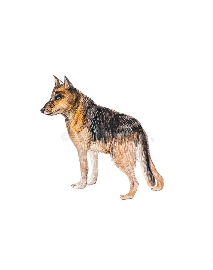 German Shepherd Dog Isolated on a White Background. Watercolor Illustration vector illustration