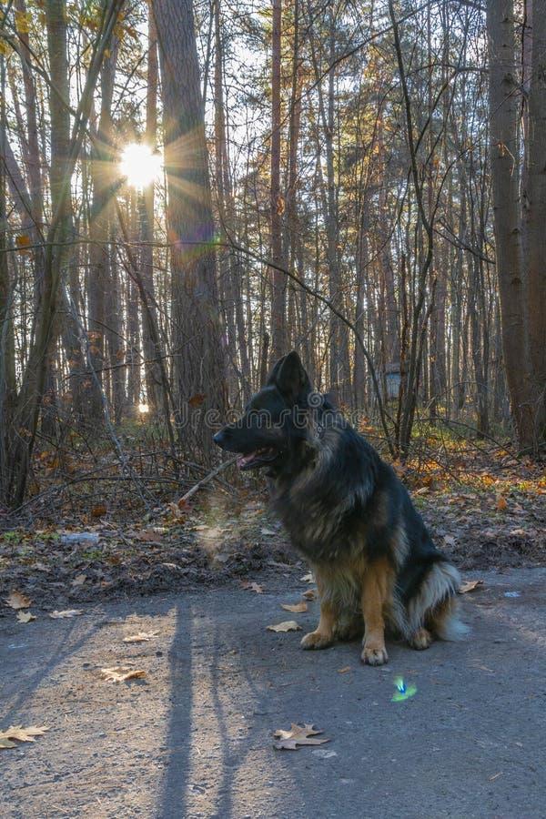 German shepherd dog. Kaluga. Kaluga region. Russia royalty free stock photography