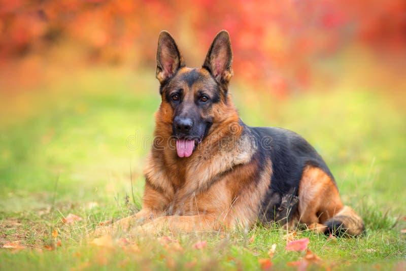 German shepherd dog lay. Beautiful german shepherd dog lay in autumn forest royalty free stock photos