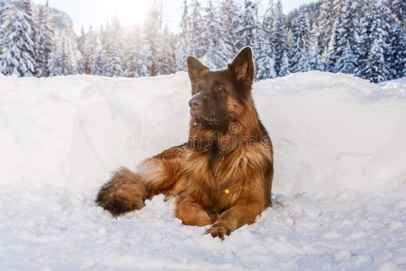 German shepherd dog in the snow, Cortina D`Ampezzo, Italy. German shepherd dog laying in the snow, Cortina D`Ampezzo, Italy royalty free stock images