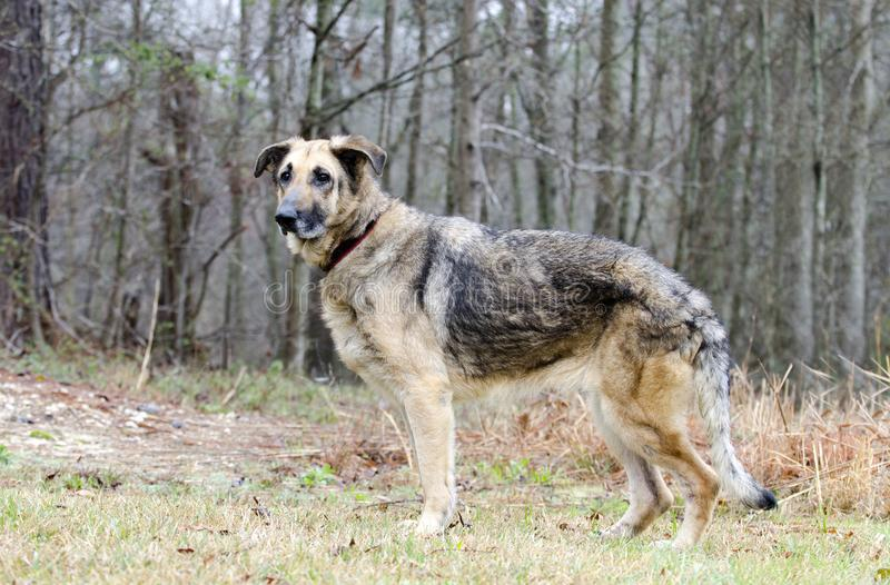 German Shepherd Dog, leash and collar, skin condition, inhumane treated royalty free stock photography