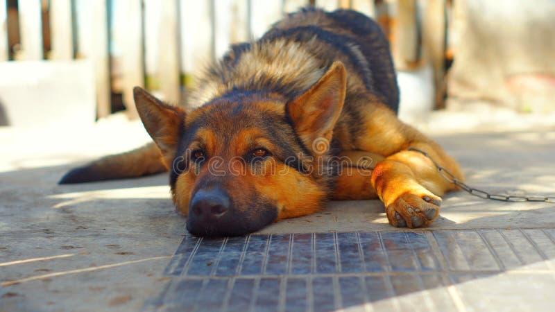 The German Shepherd dog lies. royalty free stock image