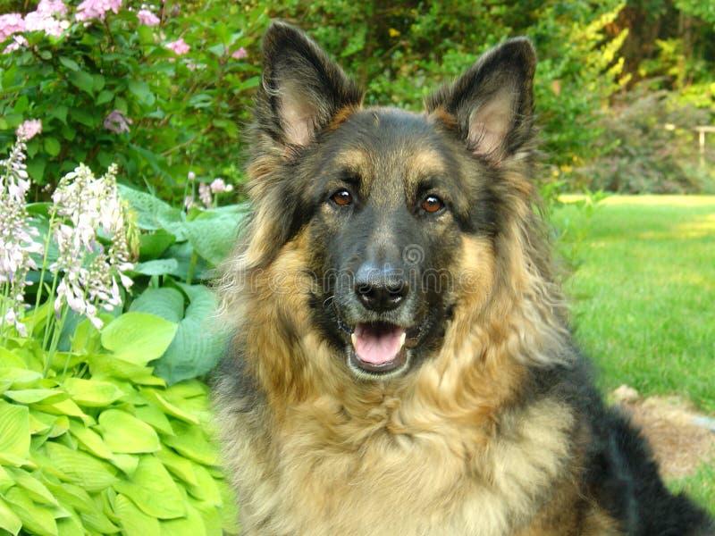 German Shepherd Dog. Long-haired German Shepherd Dog stock image