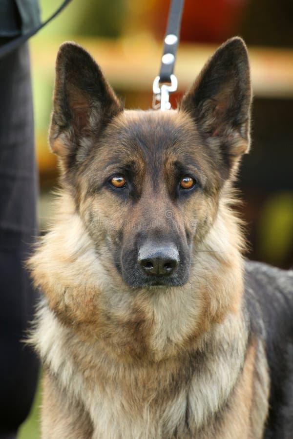 Download German shepherd dog stock image. Image of brown, dog - 31421031