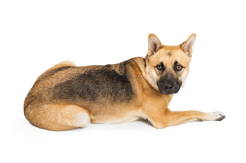 German Shepherd Dog Lying Down Facing Side. Adult large German Shepherd crossbreed dog lying down facing side and looking into camera royalty free stock images
