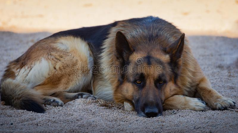 German shepherd dog lying down outdoors on spring in Valencia.  royalty free stock photo