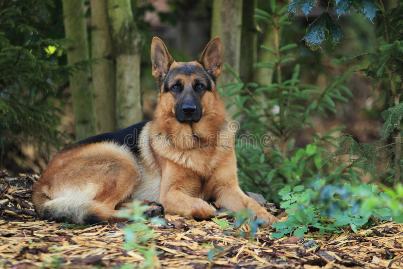 German Shepherd dog. Lying in the forest stock photography
