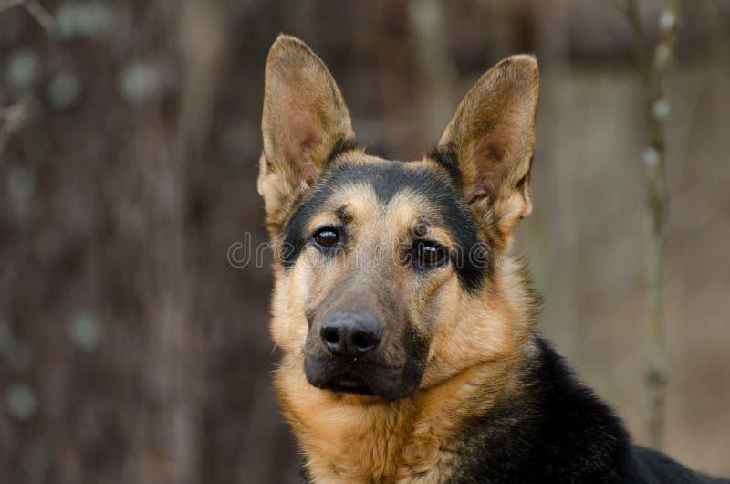 German Shepherd Dog. Outdoor pet photography, humane society animal shelter adoption photo, Walton County Animal Control stock image