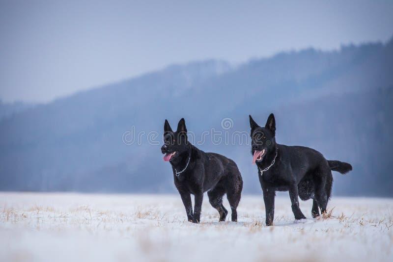 German shepherd dog. Outside royalty free stock image
